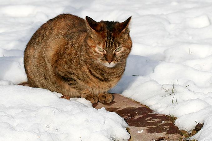 ed64c1e4976b01 Hauskatze im Schnee - Foto  Helge May