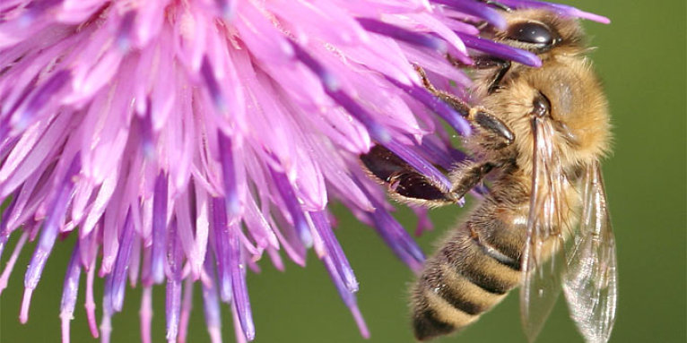 Honigbiene an Distel - Foto: Helge May